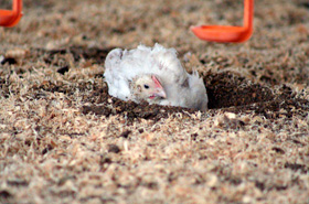 A Freedom Farmed chicken enjoying a dust bath
